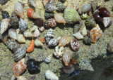 Tricolored Hermit Crabs