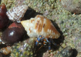 Tricolored Hermit Crab inhabiting Common Dove Shell