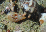 Tricolored Hermit Crabs inhabiting Smooth Dove Shell (left) and Rustic Rock Shell