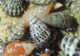 Tricolored Hermit Crabs inhabiting Stocky Cerith Shells