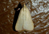 5537 - Caphys arizonensis; Pyralid Moth species
