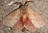 7692 - Dicogaster coronada; Lappet Moth species; male