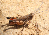 Ageneotettix deorum; White-whiskered Grasshopper; male
