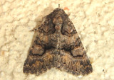 8659 - Heteranassa mima; Owlet Moth species