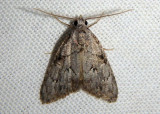 8986 - Meganola dentata; Nolid Moth species