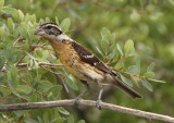 Black-headed Grosbeak; female