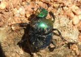 Canthon indigaceus; Dung Beetle species