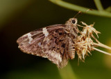 Codatractus arizonensis; Arizona Skipper