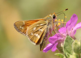 Hesperia comma; Common Branded Skipper