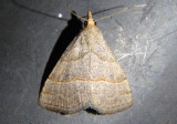 8410 - Zelicodes linearis; Owlet Moth species