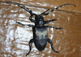 Coenopoeus palmeri; Long-horned Beetle species