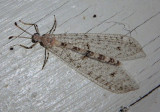 Dendroleon Antlion species
