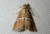 4866-4867 - Abegesta Pyralid Moth species
