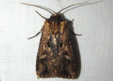 10870.1 - Dichagyris cataclivis; Dart Moth species