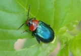 Disonycha politula; Flea Beetle species