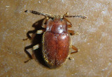 Epipocus unicolor; Handsome Fungus Beetle species
