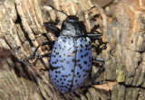 Gibbifer californicus; Pleasing Fungus Beetle species