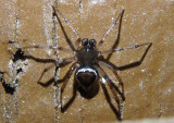 Euryopis Cobweb Spider species