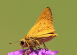Hylephila phyleus; Fiery Skipper
