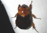 Ancognatha manca; Rhinocerus Beetle species