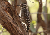 Ladder Backed Woodpecker; female