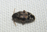 Mimosestes protractus; Bean Weevil species
