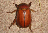 Oxygrylius ruginasus; Rhinocerus Beetle species