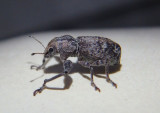 Pandeleteius Broad-nosed Weevil species