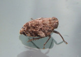 Picumna chinai; Issid Planthopper species