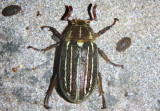 Polyphylla decemlineata; Ten-lined June Beetle