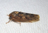 Ponana Leafhopper species