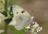 Pontia protodice; Checkered White; male