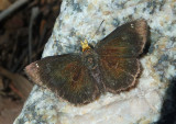Staphylus ceos; Golden-headed Scallopwing