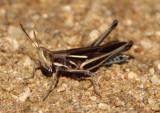Syrbula montezuma; Montezuma's Grasshopper; male