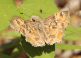 Systasea zampa; Arizona Powdered-Skipper
