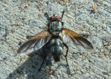 Uramya indita; Tachinid Fly species