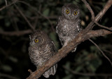 Whiskered Screech-Owl; juveniles