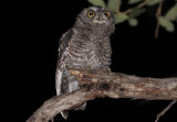 Whiskered Screech-Owl; juvenile