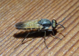 Ozodiceromyia mexicana; Stiletto Fly species; male