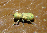 Pandeleteinus submetallicus; Broad-nosed Weevil species