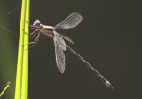 Archilestes grandis; Great Spreadwing; male