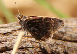 Cogia caicus; Gold-costa Skipper