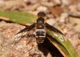 Exoprosopa albifrons; Bee Fly species