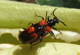 Lema trabeata; Leaf Beetle species pair