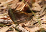 Poanes taxiles; Taxiles Skipper; female