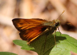 Poanes taxiles; Taxiles Skipper; male