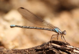 Argia plana; Springwater Dancer; female