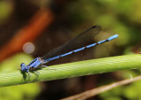 Argia lacrimans; Sierra Madre Dancer; male