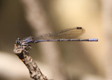 Argia plana; Springwater Dancer; male