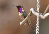 Lucifer Hummingbird; male